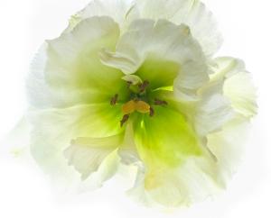 Lisianthus Blossom
